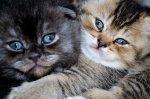 Élevage De La Blue Bonnie Cat