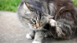 Les chats et les puces