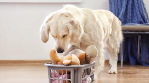 La lactation nerveuse chez le chien : Un comportement troublant.