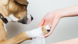 Plaie cutanée chez un chat ou un chien
