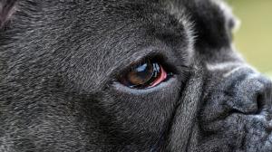 Glaucome canin : ne passez pas à côté