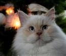Elevage : <b>Chatterie Lady De Milfort</b> <span class='click'><a href='/eleveur,fiche,132,135378.html'>Ouvrir la fiche de l'éleveur</a></span>