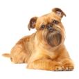 Race chien Griffon bruxellois