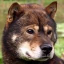 Race chien Hokkaïdo