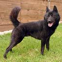 Race chien Kai