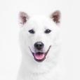 Race chien Kishu