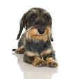 Race chien Teckel poil dur