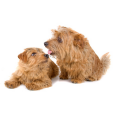 Race chien Norfolk terrier