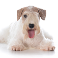 Race chien Sealyham terrier