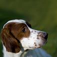 Race chien Setter irlandais rouge et blanc