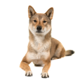 Race chien Shikoku