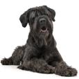 Race chien Terrier noir russe