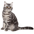 Race chat American shorthair