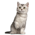 Race chat British shorthair