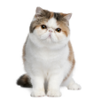 Race chat Exotic shorthair