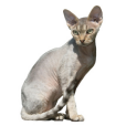 Race chat Devon rex