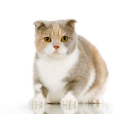Race chat Scottish fold