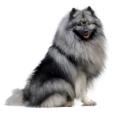 Race chien Spitz loup
