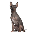 Race chien American hairless terrier