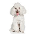 Race chien Caniche nain