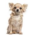 Race chien Chihuahua à poil long