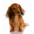 Race chien Teckel de chasse au lapin poil long