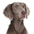 Race chien Braque de weimar poil long