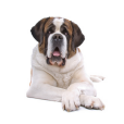 Race chien Saint-bernard poil court