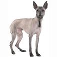 Race chien Chien nu du pérou (petit)