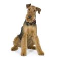 Race chien Airedale terrier