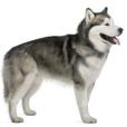 Race chien Malamute de l'alaska