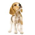 Race chien Beagle