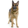 Race chien Berger allemand à poil court