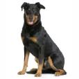 Race chien Berger de beauce