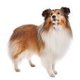 Race chien Chien de berger des shetland