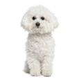 Race chien Bichon à poil frisé