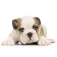 Race chien Bulldog