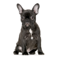 Race chien Bouledogue français