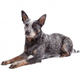 Race chien Australian cattle dog