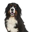 Race chien Bouvier bernois