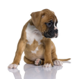Race chien Boxer