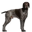 Race chien Braque allemand à poil court