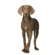 Race chien Braque de weimar poil court
