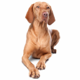 Race chien Braque hongrois à poil court