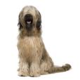 Race chien Berger de brie