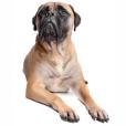 Race chien Bullmastiff