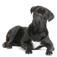 Race chien Chien de cour italien
