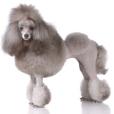 Race chien Caniche moyen