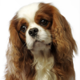 Race chien Cavalier king charles spaniel