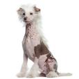 Race chien Chien chinois nu à crête